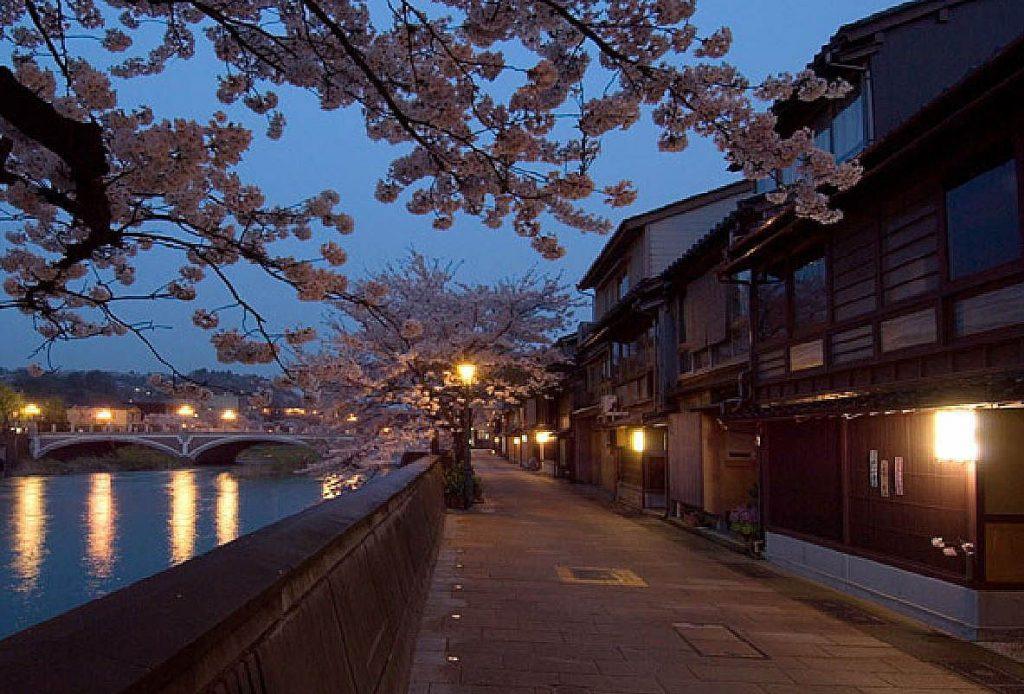 浅野川 桜