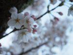 sakura-cherrybloosum-ishikawa19