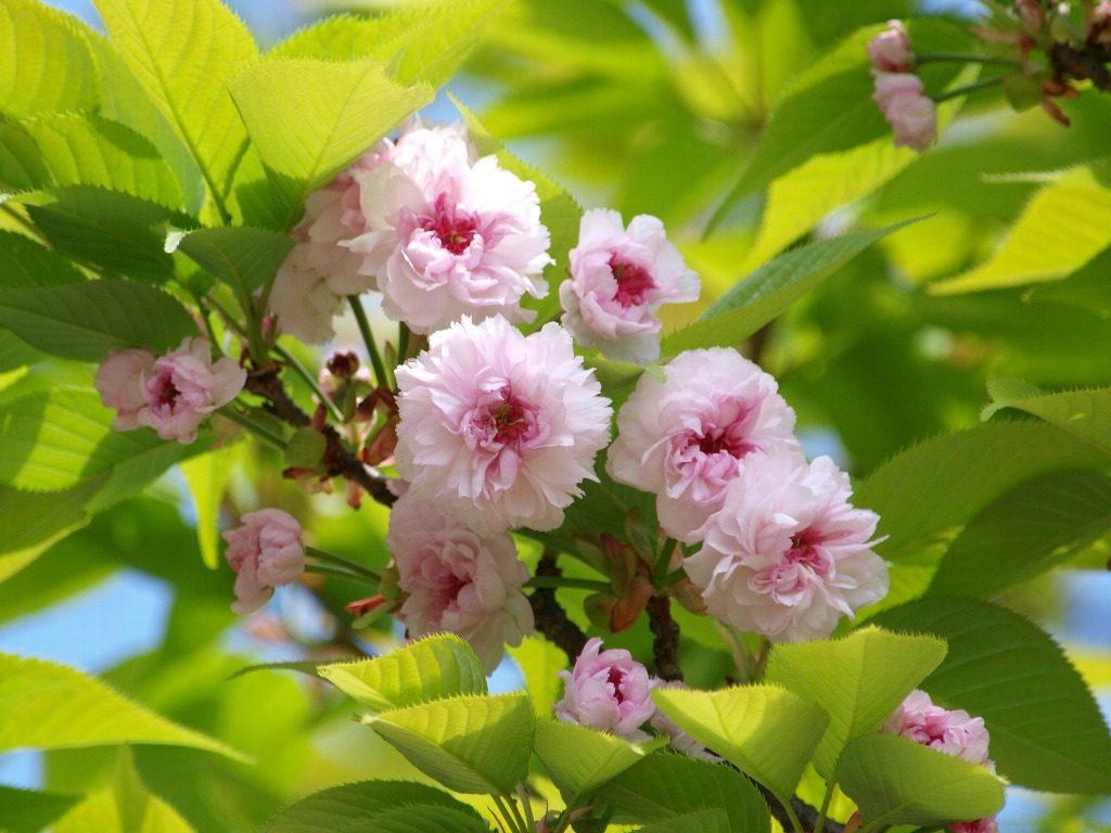 兼六園菊桜2