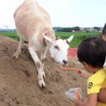 hori-farm-feeding-goat