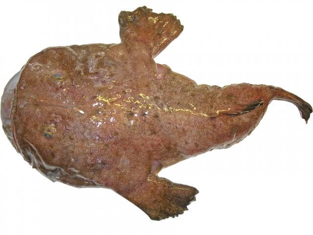 anglerfish-japan