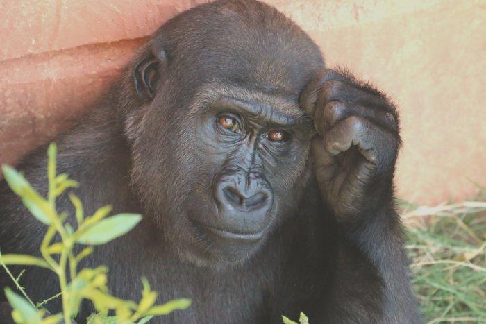think-gorilla