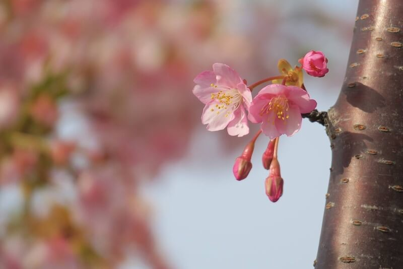 mikawa-hakusan-city-kawazu-sakura